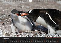 Penguins 2019 (Wall Calendar 2019 DIN A4 Landscape) - Produktdetailbild 6