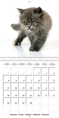 Persian Kittens (Wall Calendar 2019 300 × 300 mm Square) - Produktdetailbild 2