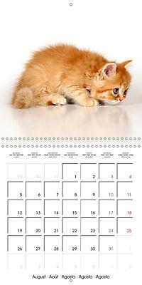 Persian Kittens (Wall Calendar 2019 300 × 300 mm Square) - Produktdetailbild 8