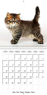 Persian Kittens (Wall Calendar 2019 300 × 300 mm Square) - Produktdetailbild 5