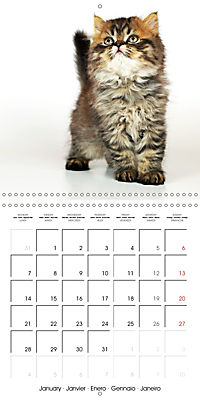 Persian Kittens (Wall Calendar 2019 300 × 300 mm Square) - Produktdetailbild 1