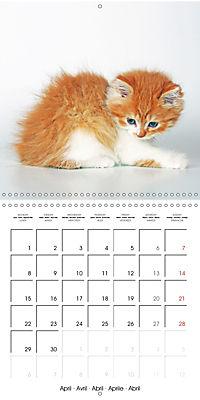 Persian Kittens (Wall Calendar 2019 300 × 300 mm Square) - Produktdetailbild 4