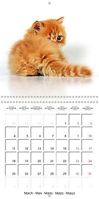 Persian Kittens (Wall Calendar 2019 300 × 300 mm Square) - Produktdetailbild 3