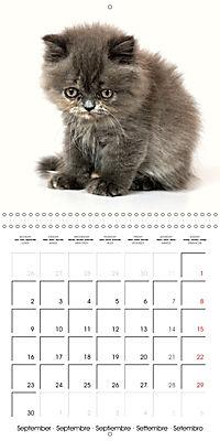 Persian Kittens (Wall Calendar 2019 300 × 300 mm Square) - Produktdetailbild 9