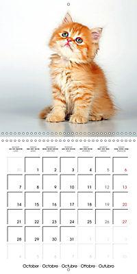 Persian Kittens (Wall Calendar 2019 300 × 300 mm Square) - Produktdetailbild 10