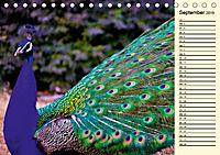 Pfaue. Prächtig und schillernd (Tischkalender 2019 DIN A5 quer) - Produktdetailbild 9