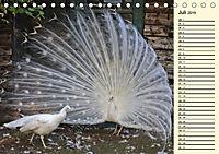 Pfaue. Prächtig und schillernd (Tischkalender 2019 DIN A5 quer) - Produktdetailbild 7