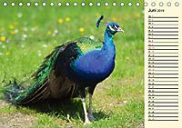 Pfaue. Prächtig und schillernd (Tischkalender 2019 DIN A5 quer) - Produktdetailbild 6