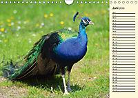 Pfaue. Prächtig und schillernd (Wandkalender 2019 DIN A4 quer) - Produktdetailbild 6