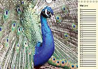 Pfaue. Prächtig und schillernd (Wandkalender 2019 DIN A4 quer) - Produktdetailbild 5