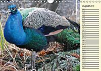 Pfaue. Prächtig und schillernd (Wandkalender 2019 DIN A4 quer) - Produktdetailbild 8