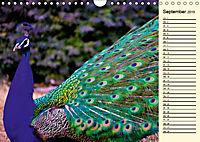 Pfaue. Prächtig und schillernd (Wandkalender 2019 DIN A4 quer) - Produktdetailbild 9