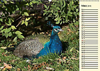 Pfaue. Prächtig und schillernd (Wandkalender 2019 DIN A2 quer) - Produktdetailbild 3