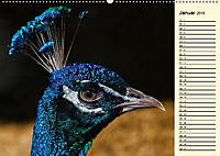 Pfaue. Prächtig und schillernd (Wandkalender 2019 DIN A2 quer) - Produktdetailbild 1