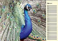 Pfaue. Prächtig und schillernd (Wandkalender 2019 DIN A2 quer) - Produktdetailbild 5