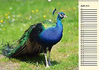 Pfaue. Prächtig und schillernd (Wandkalender 2019 DIN A2 quer) - Produktdetailbild 6