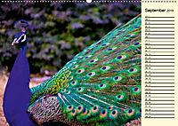 Pfaue. Prächtig und schillernd (Wandkalender 2019 DIN A2 quer) - Produktdetailbild 9