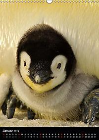 Pinguine - Wackeln im Thermo-Frack (Wandkalender 2019 DIN A3 hoch) - Produktdetailbild 1