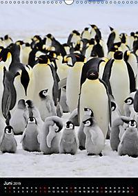 Pinguine - Wackeln im Thermo-Frack (Wandkalender 2019 DIN A3 hoch) - Produktdetailbild 6
