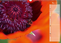 Poppies in my garden (Wall Calendar 2019 DIN A3 Landscape) - Produktdetailbild 5