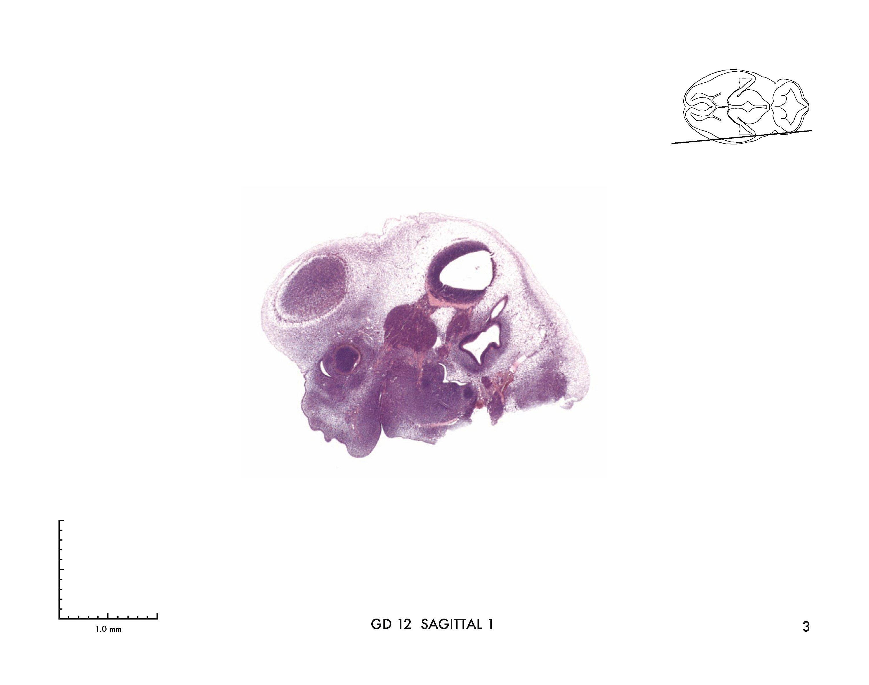 Prenatal Mouse Brain Atlas Buch versandkostenfrei bei Weltbild ch