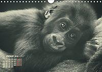 PRIMATEN PORTRAITS - monochrom (Wandkalender 2019 DIN A4 quer) - Produktdetailbild 1