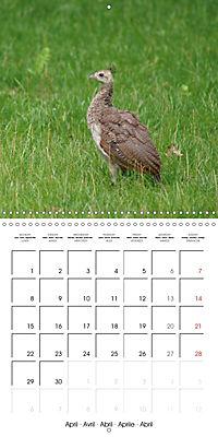 Proud Peacock (Wall Calendar 2019 300 × 300 mm Square) - Produktdetailbild 4