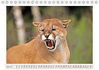 Puma: Auf leisen Pfoten (Tischkalender 2019 DIN A5 quer) - Produktdetailbild 3