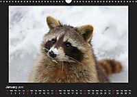 Raccoons / UK-Version (Wall Calendar 2019 DIN A3 Landscape) - Produktdetailbild 1