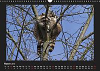 Raccoons / UK-Version (Wall Calendar 2019 DIN A3 Landscape) - Produktdetailbild 3