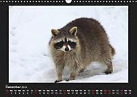 Raccoons / UK-Version (Wall Calendar 2019 DIN A3 Landscape) - Produktdetailbild 12