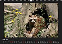 Raccoons / UK-Version (Wall Calendar 2019 DIN A3 Landscape) - Produktdetailbild 5