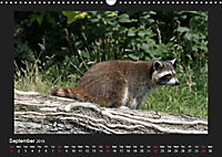 Raccoons / UK-Version (Wall Calendar 2019 DIN A3 Landscape) - Produktdetailbild 9