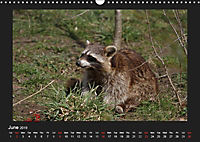Raccoons / UK-Version (Wall Calendar 2019 DIN A3 Landscape) - Produktdetailbild 6