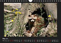 Raccoons / UK-Version (Wall Calendar 2019 DIN A4 Landscape) - Produktdetailbild 5