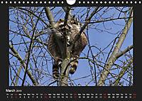 Raccoons / UK-Version (Wall Calendar 2019 DIN A4 Landscape) - Produktdetailbild 3