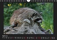 Raccoons / UK-Version (Wall Calendar 2019 DIN A4 Landscape) - Produktdetailbild 4