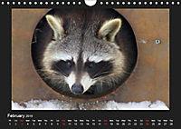 Raccoons / UK-Version (Wall Calendar 2019 DIN A4 Landscape) - Produktdetailbild 2