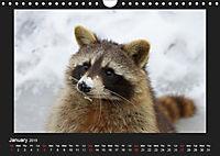 Raccoons / UK-Version (Wall Calendar 2019 DIN A4 Landscape) - Produktdetailbild 1