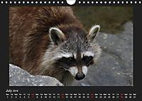 Raccoons / UK-Version (Wall Calendar 2019 DIN A4 Landscape) - Produktdetailbild 7
