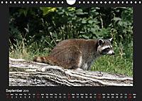 Raccoons / UK-Version (Wall Calendar 2019 DIN A4 Landscape) - Produktdetailbild 9