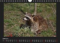 Raccoons / UK-Version (Wall Calendar 2019 DIN A4 Landscape) - Produktdetailbild 6
