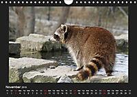 Raccoons / UK-Version (Wall Calendar 2019 DIN A4 Landscape) - Produktdetailbild 11
