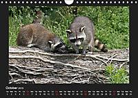 Raccoons / UK-Version (Wall Calendar 2019 DIN A4 Landscape) - Produktdetailbild 10