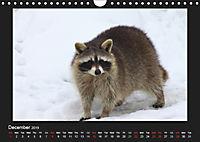 Raccoons / UK-Version (Wall Calendar 2019 DIN A4 Landscape) - Produktdetailbild 12