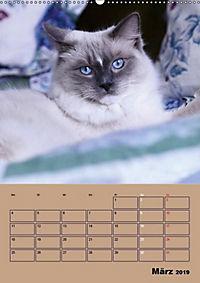 Ragdolls zum Verlieben (Wandkalender 2019 DIN A2 hoch) - Produktdetailbild 3