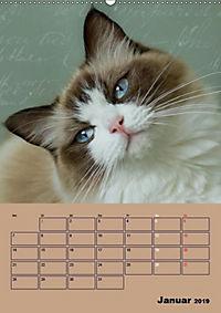 Ragdolls zum Verlieben (Wandkalender 2019 DIN A2 hoch) - Produktdetailbild 1