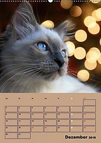 Ragdolls zum Verlieben (Wandkalender 2019 DIN A2 hoch) - Produktdetailbild 12
