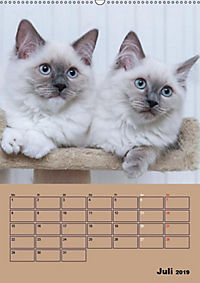 Ragdolls zum Verlieben (Wandkalender 2019 DIN A2 hoch) - Produktdetailbild 7