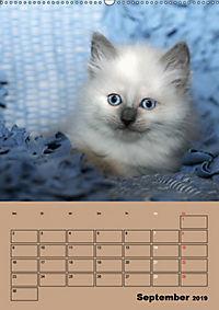 Ragdolls zum Verlieben (Wandkalender 2019 DIN A2 hoch) - Produktdetailbild 9
